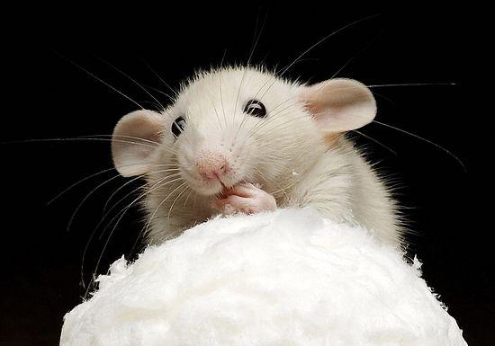 Мышь-мессионер