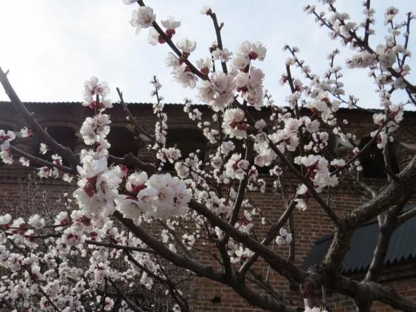 Персик в цвету